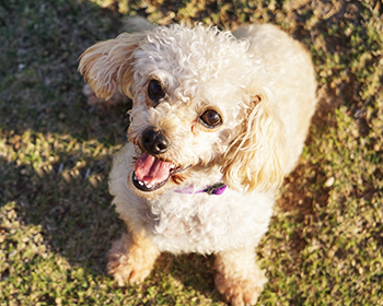 toy poodle available for adoption in Arizona
